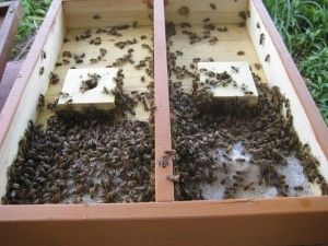 Happy bees. No gloves, no smoker, excellent workers and good winter survival rates - A happy customer.